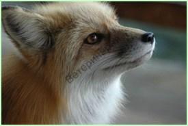 Оценка ответа гипофиза на введение собаке ГнРГ